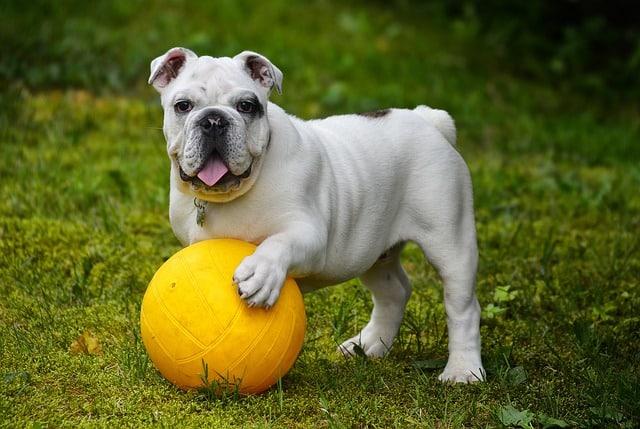 chien jouant au foot